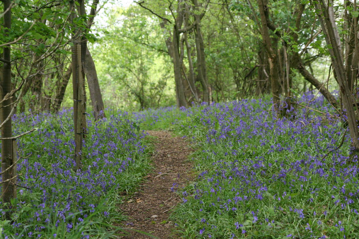 Uphill into bluebell woods