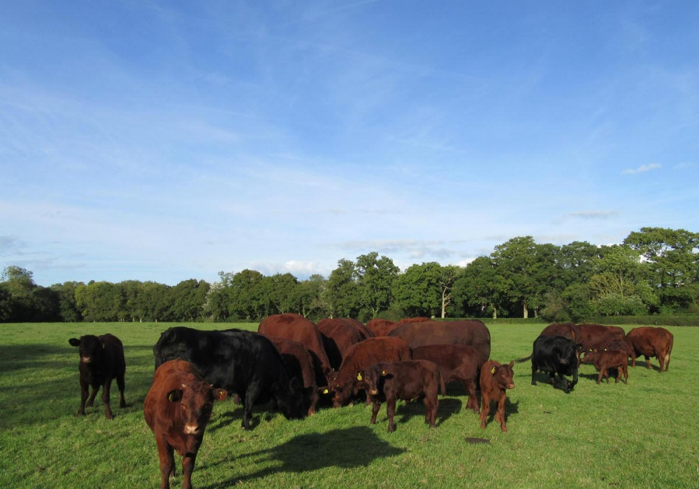 Our Herd of  Pedigree Sussex Cattle